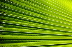 Striped of palm leaf, Abstract green texture background Stock Photography