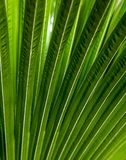 Striped of palm leaf, Abstract green texture background Royalty Free Stock Images