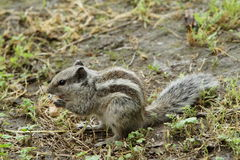 Striped palm squirrel Royalty Free Stock Photo