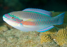 Striped Parrotfish. Scarus iserti, picture taken in Broward County, Florida Stock Photos
