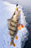 Striped perch Stock Images