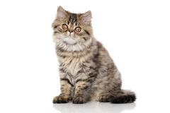 Striped Persian cat Stock Image