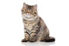 Striped Persian cat Stock Image