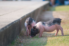Striped piglets royalty free stock image