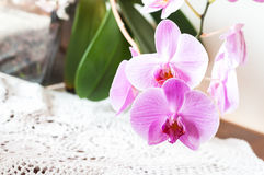 Striped pink orchid flower close up Stock Photography