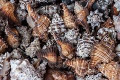 Striped Placer пустые раковины моря Стоковые Изображения RF