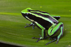 Striped poison dart frog Royalty Free Stock Photo