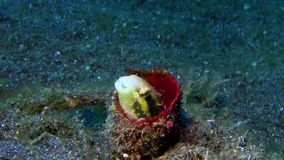Striped poison-fang blenny Meiacanthus grammistes in Lemeh strait. Indonesia stock footage