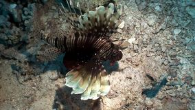 Striped poisonous fish Common lionfish Pterois volitans on bottom of Red sea. Relax underwater video about marine nature stock footage
