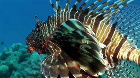 Striped poisonous fish Common lionfish Pterois volitans on bottom of Red sea. Relax underwater video about marine nature stock video footage
