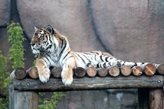 Tiger. The striped predator looks out for production royalty free stock images