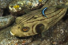 Striped puffer Stock Photography