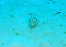 Striped puffer Stock Photo