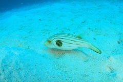 Striped puffer Royalty Free Stock Photography