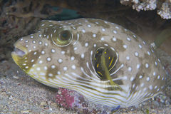 Striped Pufferfish Royalty Free Stock Photography