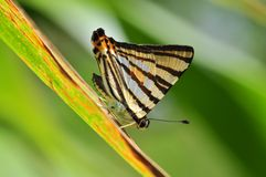 Striped punch butterfly. Of thailand background Stock Photo