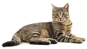Striped purebred cat Stock Image