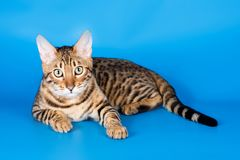 Striped red cat. On a blue background bengal royalty free stock photos
