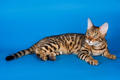 Striped red cat. On a blue background bengal stock photography