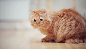 Striped red cat on a floor. Stock Photos