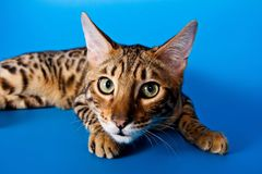 Striped red cat. On a blue background bengal royalty free stock images