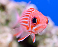 Striped Red Squirrelfish. Sargocentron xantherythrum front view with rocks and blue background Royalty Free Stock Photos
