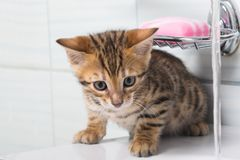 Striped redhead kitten in the bathroom playing. With water royalty free stock images