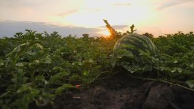 Striped ripe watermelons on the ground in a field at sunset stock video