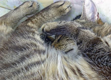 Striped rolled up sleeping cat Royalty Free Stock Image