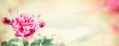 Striped rose on blurred nature background, banner for website Stock Photography