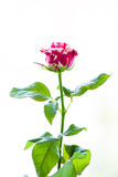 The striped rose Royalty Free Stock Photos
