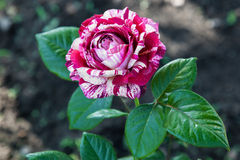 Striped rose Royalty Free Stock Photo