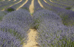 Striped Rows of Purple Lavender Plants Royalty Free Stock Photo