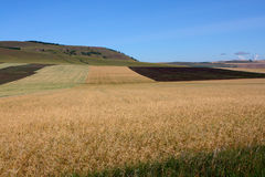 Striped rural field. On a field a strip ripened wheat surrounded with an arable land Royalty Free Stock Image