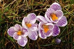 Striped saffrons Stock Photos