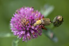 Striped scarab beetle and a clover flower stock images