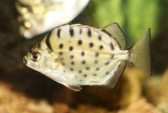 Striped Scat fish. Freshwater fish : Striped Scat fish Royalty Free Stock Photos