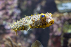 Striped schoepfi Chilomycterus burrfish стоковое изображение rf