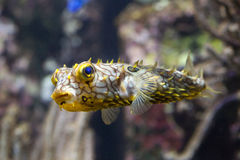 Striped schoepfi Chilomycterus burrfish стоковые фото