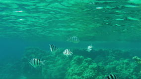 Striped Scissortail Sergeant fish are not deep beneath the surface of the water. Underwater video. Striped fish are not deep beneath the surface of the water stock video