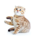Striped Scottis kitten fold breed sitting isolated Stock Images