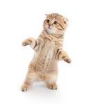 танцуя створка изолировала striped scottish котенка стоковая фотография