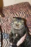Striped Scottish cat in the arms of the girl, looking at the camera. royalty free stock image