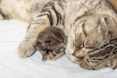 Striped scottish fold cat with newborn kitten sleeping together Stock Images