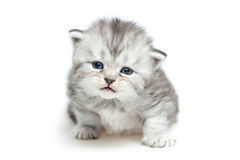 Striped Scottish kitten Royalty Free Stock Photos