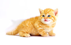 Striped scottish kitten Stock Image