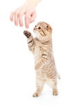 Striped Scottish kitten breed standing isolated Royalty Free Stock Image