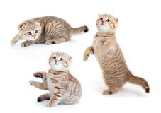 Striped Scottish kitten collection isolated Stock Photo