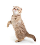 Striped Scottish kitten fold dancing isolated. Striped Scottish kitten fold pure breed dancing isolated royalty free stock photo
