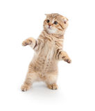 Striped Scottish kitten fold dancing isolated. Striped Scottish kitten fold pure breed dancing isolated stock photography